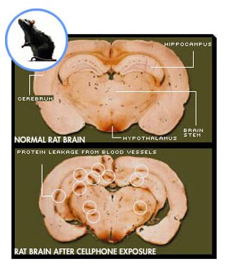 Rat brain before and after cellphone radiation exposure