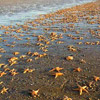 thousands of sarfish on a beach