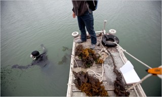 Christopher Scianni, a California state worker, diving to remove wakame from the bay.